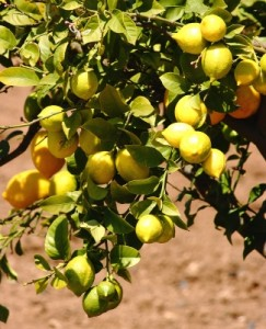 """""""Lemons In Lemon Tree"""" by Stuart Miles"""
